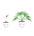 Two Philodendron Plant in Ceramic Flower Pots vector image