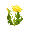 green dandelion with yellow flower and closed head vector image vector image