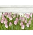 Beautiful pink and white tulips EPS 10 vector image vector image