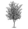 cartoon drawing of beech tree vector image
