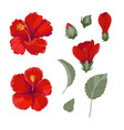 red hibiscus vector image