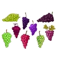 Bunches of green and red grapes vector image vector image