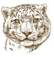 engraving snow leopard head vector image vector image