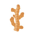 ginger root on white background vector image vector image