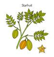 starfruit averrhoa carambola medicinal plant