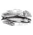 atlantic herring vintage vector image vector image