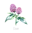 Watercolor clover herb vector image vector image