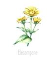 Watercolor elecampane herb vector image vector image