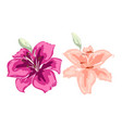 two beautiful lily flowers of big lilies isolated vector image vector image