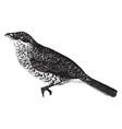 great grey shrike vintage vector image vector image