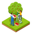isometric apple orchard ripe fruits hanging vector image