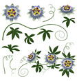 passiflora flowers and leaves set vector image