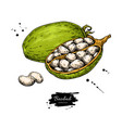 baobab superfood drawing organic healthy vector image vector image