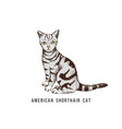 hand drawn american shorthair cat vector image