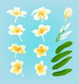 white plumeria flower vector image