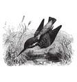 european kingfisher vintage vector image vector image