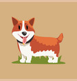 funny red-haired welsh corgi standing on green vector image