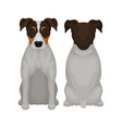 flat of sitting jack russell vector image vector image