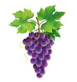 purple grape on white background vector image vector image
