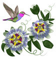 hummingbird and passiflora vector image vector image