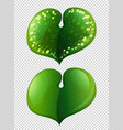 two types of leaves on transparent background vector image vector image