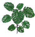 tropical palm branch monstera vector image vector image