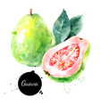 watercolor hand drawn guava fruit painted sketch vector image