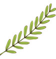 tamarind branch with green leaves vector image vector image