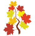 branch with fall maple leaves vector image vector image