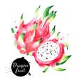 watercolor hand drawn dragon fruit pitahaya vector image