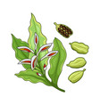 cardamom spice realistic colored botanical vector image vector image