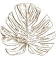 engraving drawing of monstera leaf vector image