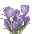 Bouquet of crocuses vector image vector image