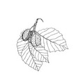 beech branch with leaves and fruits hand drawn vector image