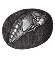 pupa hydrophilus piceus vintage vector image vector image