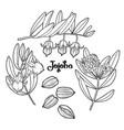 graphic jojoba plant vector image vector image