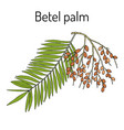 betel palm areca catechu or indian nut vector image