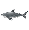Gray shark looking angry vector image vector image