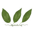 leaves diffenbachia elements set botany hand vector image