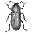 mealworm beetle vintage vector image vector image
