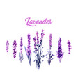 watercolor or aquarelle paintings lavender vector image vector image