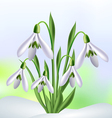 Snowdrops in snow vector image