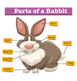 Anatomy of cute rabbit vector image vector image