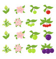 fruits growth stages cherries and plum damsons vector image vector image
