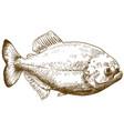 engraving drawing of piranha vector image vector image