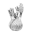 hand drawn fennel isolated on white background vector image vector image