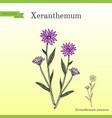 annual everlasting or immortelle xeranthemum vector image