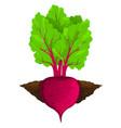 beet grow in ground vector image vector image