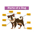 Diagram showing different part of dog vector image vector image