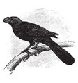 groove billed ani vintage vector image vector image